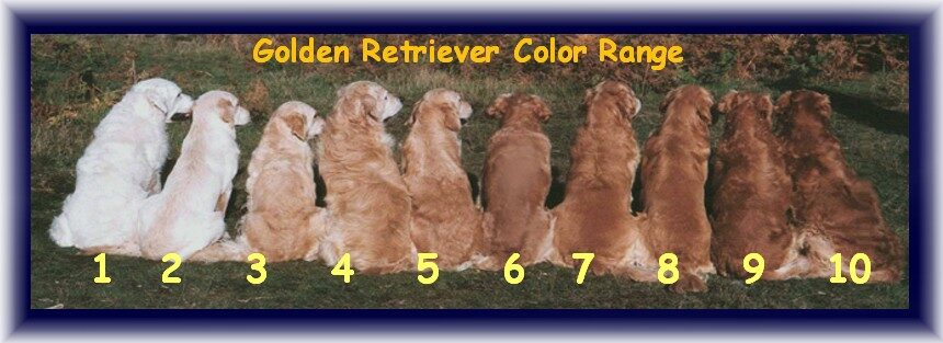 available pups hearts of gold retrievers